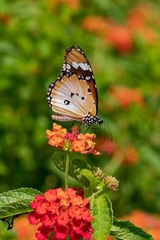 Einfacher tigerschmetterling, der auf der pflanze ruht
