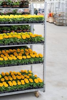 Eingemachte blühende ringelblume, die in plastiktöpfen wächst, zum verkauf im gewächshausgarten und im gartenbau