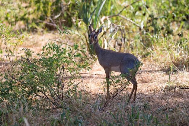 Einheimische antilopen im grasland der kenianischen savanne