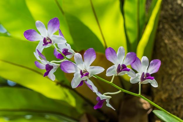 Einheimische flora tropisch schöner orchidee