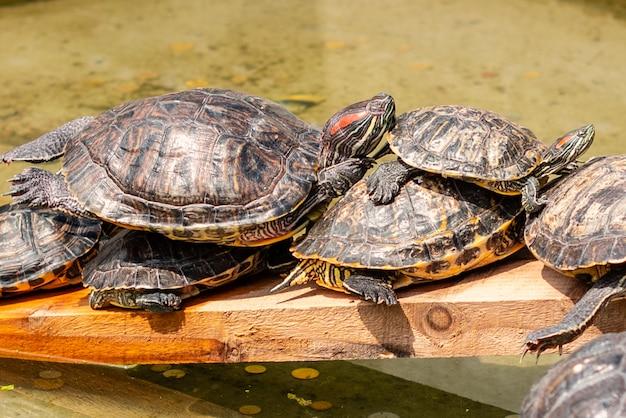 Einige schildkröten haben eine pause über wasser am sonnigen sommertag