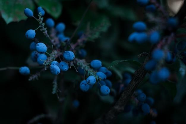Einige wilde beeren von blauer farbe auf ihrem strauch. dunkles nahaufnahmefoto. ausgewählter fokus