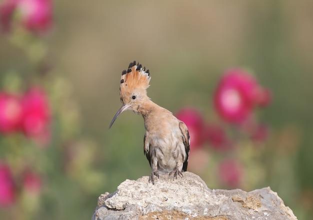 Eins der eurasische wiedehopf (upupa epops) ist eine nahaufnahme