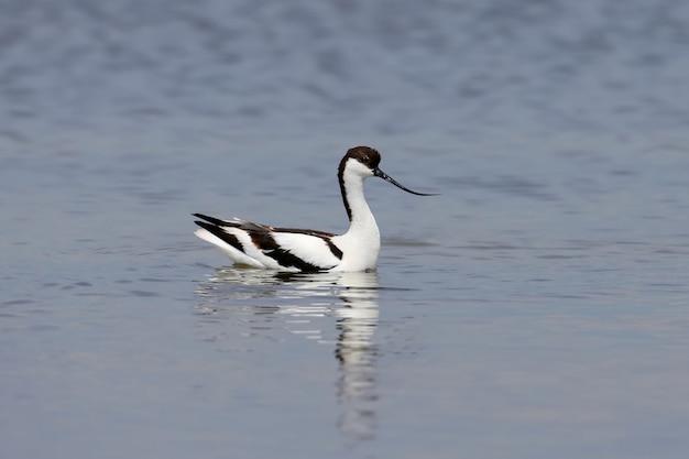 Einsam gescheckter avocet (recurvirostra avosetta) schwimmt im flachen wasser auf der suche nach nahrung