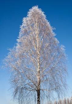 Einsame birke im winter mit iny