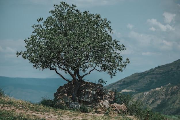 Einsame eiche auf einem steppenhang gegen sommerberge in georgia