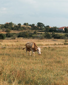 Einsame hellbraune kuh, die auf das feld in der landschaft geht