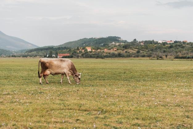 Einsame kuh, die auf dem gebiet weiden lässt
