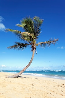 Einsame palme im karibischen strand im sommer
