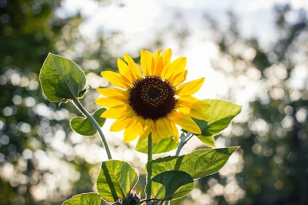 Einsame sonnenblume bei sonnenuntergang mit schönem bokeh