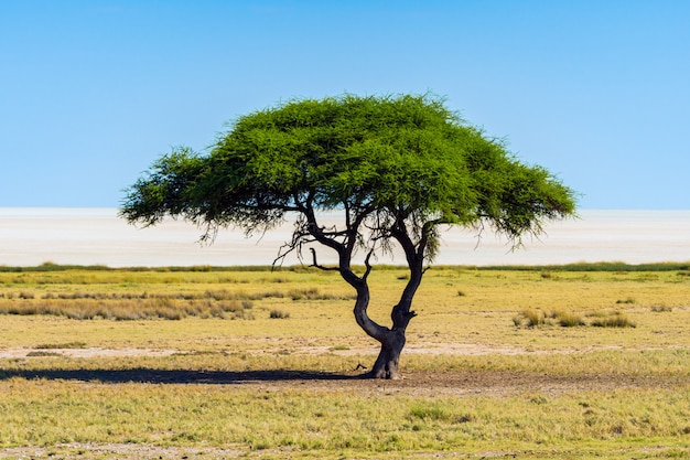 Einsamer akazienbaum (kamelthorne) mit blauem himmelhintergrund im etosha-nationalpark, namibia. südafrika