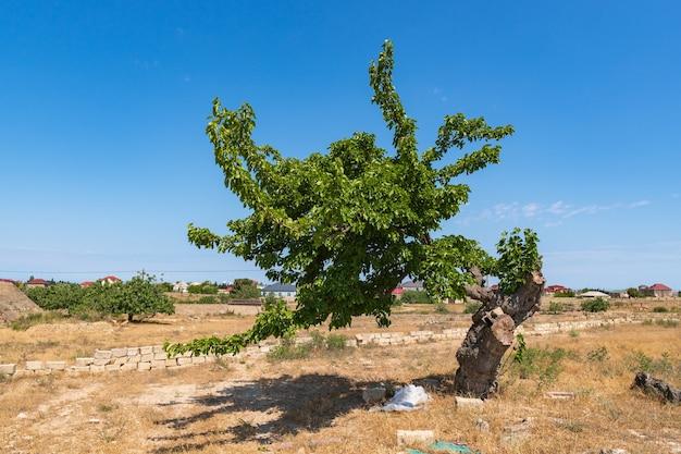 Einsamer alter schöner maulbeerbaum
