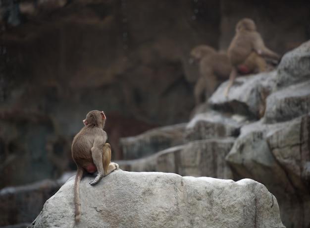 Einsamer baby hamadryas pavian, der mit dem rücken zur kamera sitzt