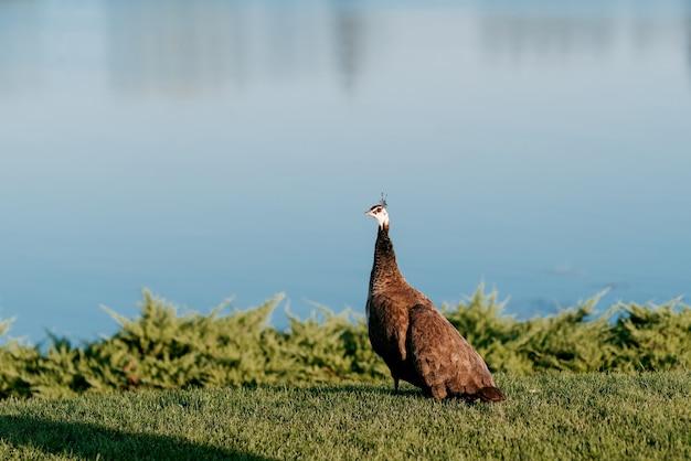 Einsamer brauner pfau steht auf grünem gras auf dem hintergrund eines blauen flusses