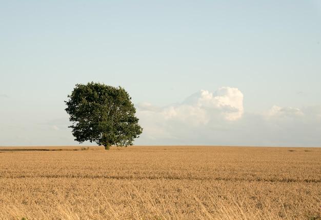 Einsamer erntebaum