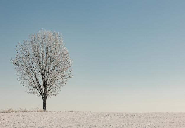 Einsamer espenbaum in einem schnee nahe feld