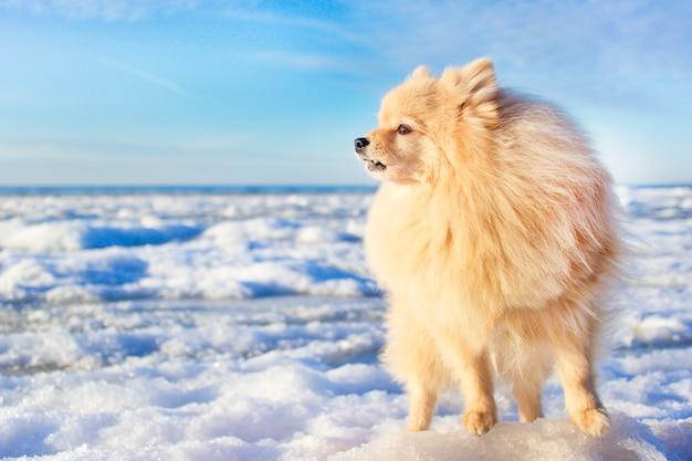 Einsamer niedlicher schöner pommerscher spitzhund, der am kalten wintertag am strand auf eis steht, gefrorene nordsee, wartend, auf der suche nach seinem meister, besitzer. welpe gehen verloren, heult. platz kopieren, platz für text