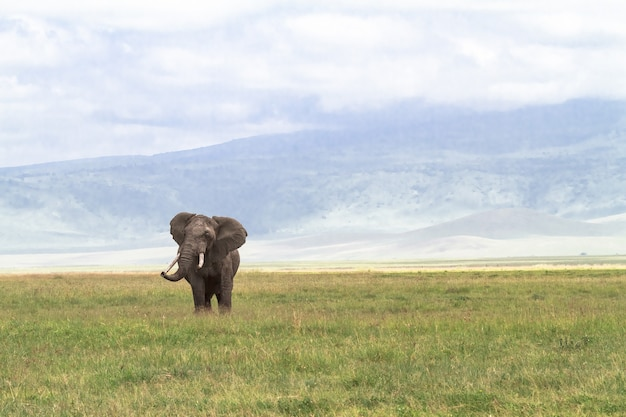 Einsamer riesiger elefant im krater von ngorongoro. tansania, afrika