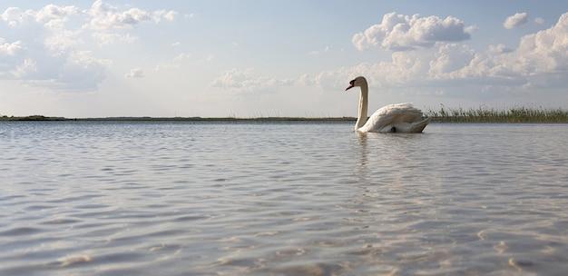 Einsamer schneeweißer schwan schwimmt in einem sauberen, frischen see mit wunderschönen horizontwolken und blauem himmel