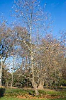 Einsamer schöner herbstbaum. herbstlandschaft. ein ahornbaum mit fast gefallenen blättern gegen den himmel.