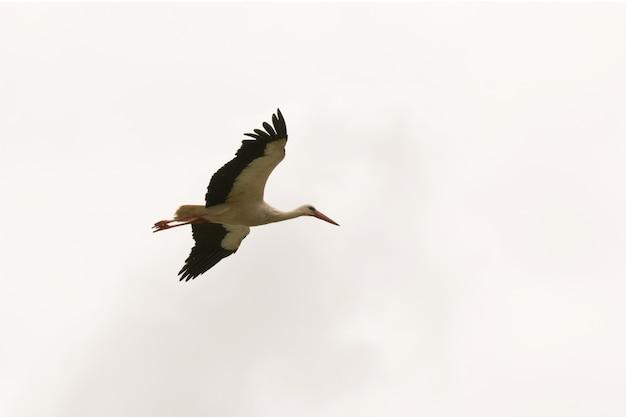 Einsamer storch, der über den himmel fliegt