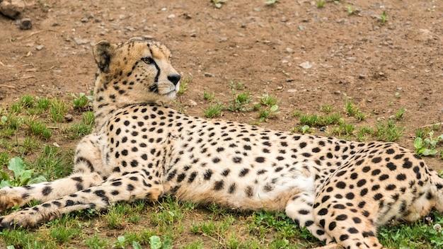 Einsamer wilder gepard auf dem gras