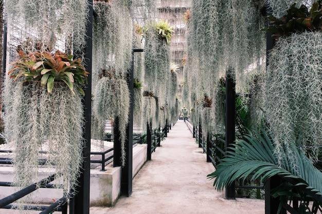 Einsiedler schnurrbart pflanzendekoration im garten hängen