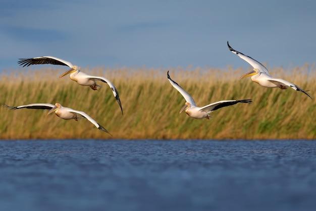 Einzel- und gruppenbilder des weißen pelikans (pelecanus onocrotalus) im natürlichen lebensraum.