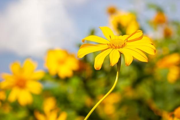 Einzelne gelbe baum-ringelblume der nahaufnahme oder maxican-sonnenblume im unschärfehintergrund der blume.