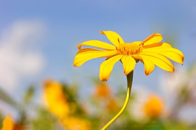 Einzelne gelbe baum-ringelblume oder maxican-sonnenblume der nahaufnahme im blauen hintergrund des himmels.