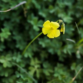 Einzelne gelbe blume mit knospe