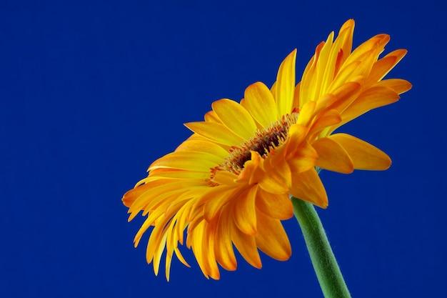 Einzelne goldene gerbera-blume in voller blüte vor blauem hintergrund