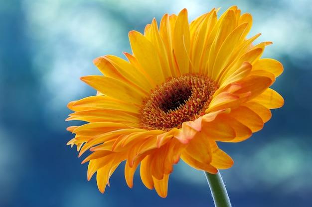 Einzelne goldene gerbera-blume in voller blüte