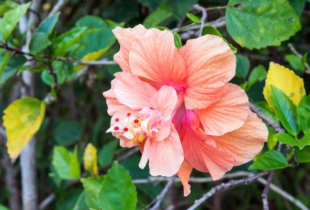 Einzelne hibiskus-blume