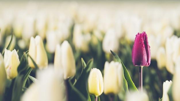 Einzelne lila tulpe im bereich der weißen tulpen - konzept der individualität