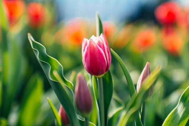 Einzelne lila tulpenblume mit roten tulpen