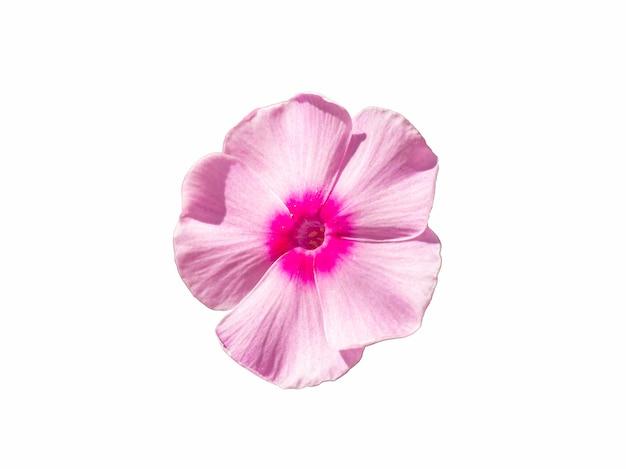 Einzelne rosa phlox-blume isoliert auf weißem hintergrund. blühende blume phlox, nahaufnahme.