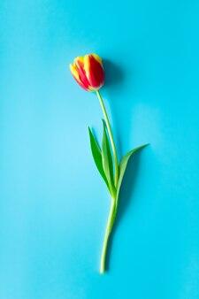 Einzelne rote gelbe tulpe auf lebendiger blauer wand, vertikal. konzept frühling, draufsicht