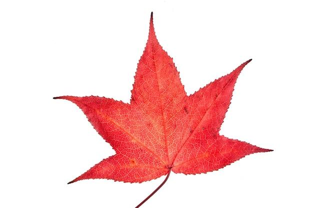 Einzelne rote herbstliquidambar oder ahornblatt isoliert lokalisiert auf weißem, beschneidungsweg