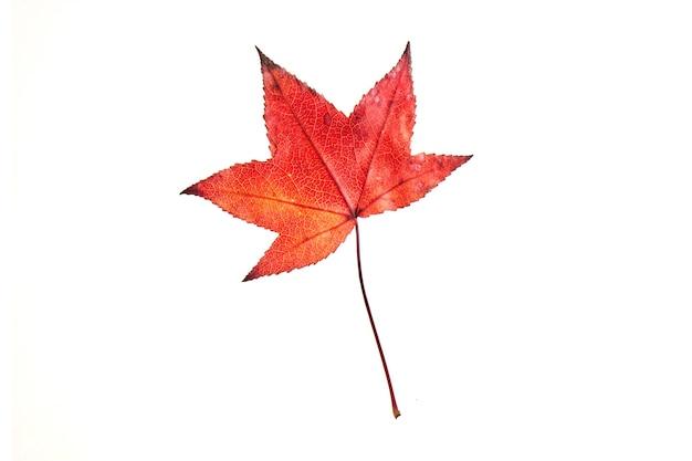 Einzelne rote herbstliquidambar oder ahornblatt lokalisiert auf weißem, schneidendem weg