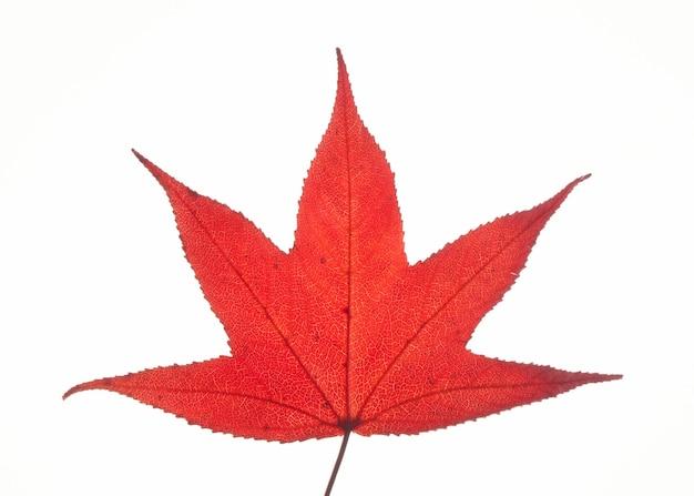 Einzelne rote herbstliquidambar oder ahornblatt lokalisiert auf weißer oberfläche, beschneidungspfad