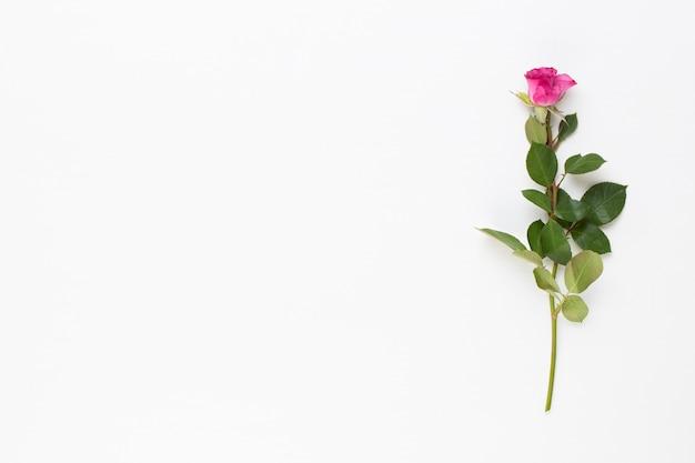 Einzelne rote rose auf weißem hintergrund. flache lage, draufsicht