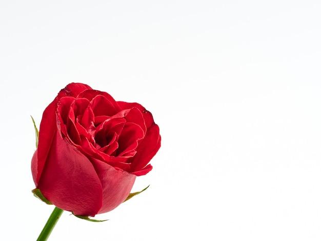 Einzelne rote rose auf weißem hintergrund