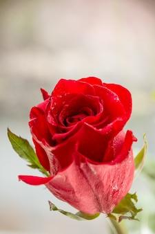 Einzelne rote rosenwassertropfen auf weißer holzwand mit copyspace, liebesromantik-hochzeitsgeburtstagskonzept. grußkarte, glücklicher muttertag mit schöner dunkelroter rose. muttertagskonzept.