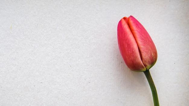 Einzelne rote tulpe auf einem weißen blatt in form einer schönen grußkarte mit kopierraum