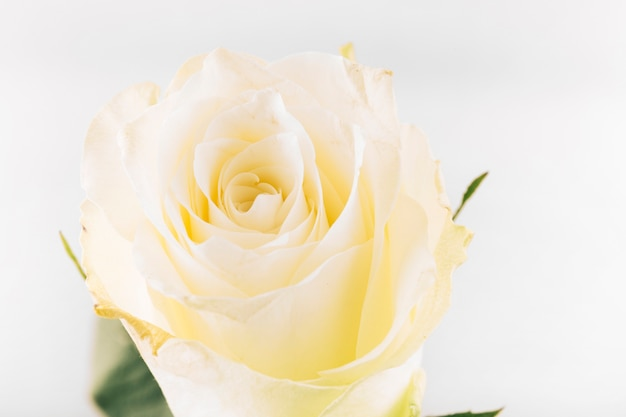 Einzelne schöne gelbe rose auf lokalisiertem hintergrund