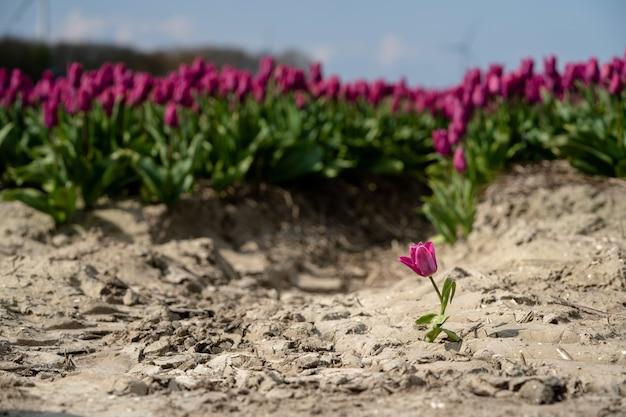 Einzelne tulpe vor einem lila tulpenfeld - herausragendes konzept