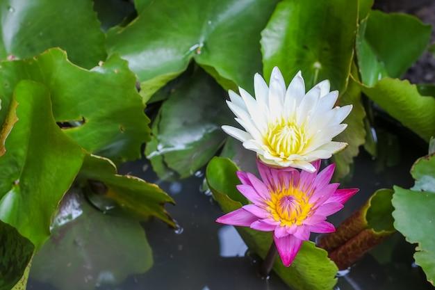 Einzelner einfacher bunter schöner rosa purpurroter lotos der draufsicht der nahaufnahme