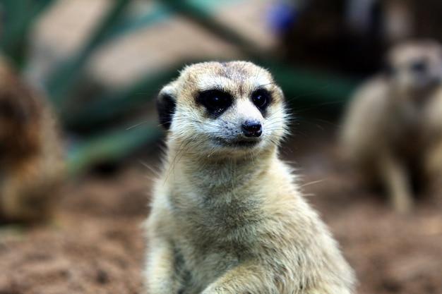 Einzelner meerkat, der sitzt, um die gefährliche sache aufzupassen