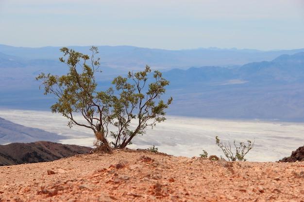 Einzelner mexikanischer pinyonbaum in einer wüste nahe dem meer, umgeben von hohen bergen